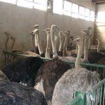 شترمرغ پرواری پرورشی