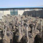 پرورش شترمرغ پرواری
