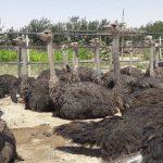 شترمرغ کشتاری پرواری