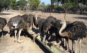 انواع جیره شترمرغ پرواری