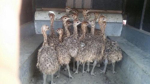 جوجه شترمرغ در اصفهان