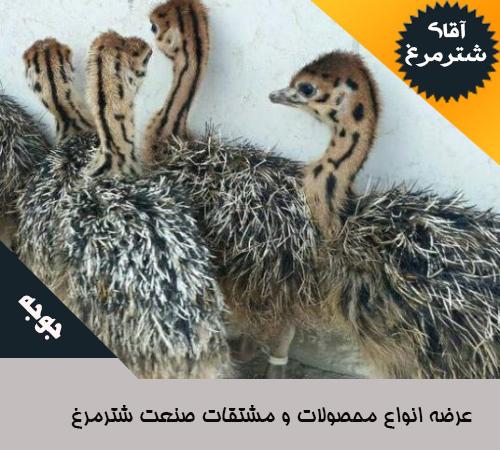 جوجه شترمرغ هچری اصفهان